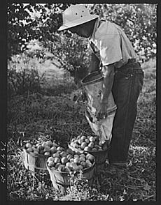 apricot_farmer
