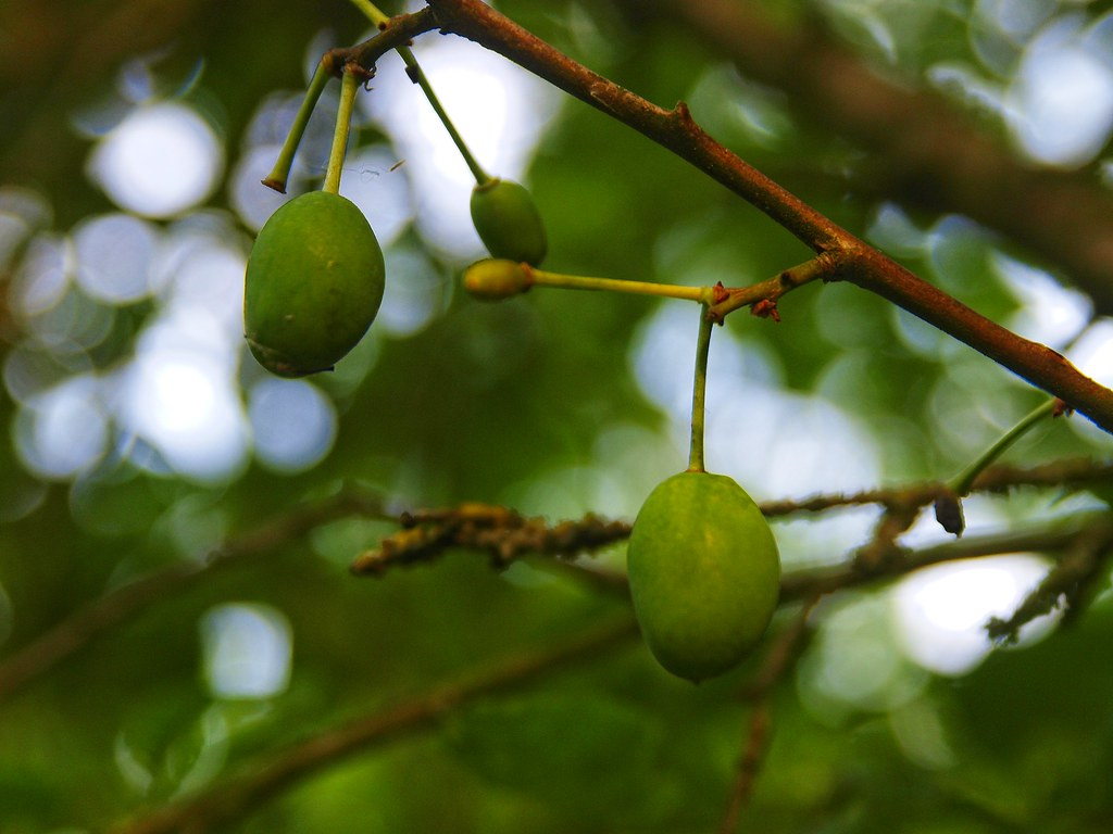 Lime growing on tree