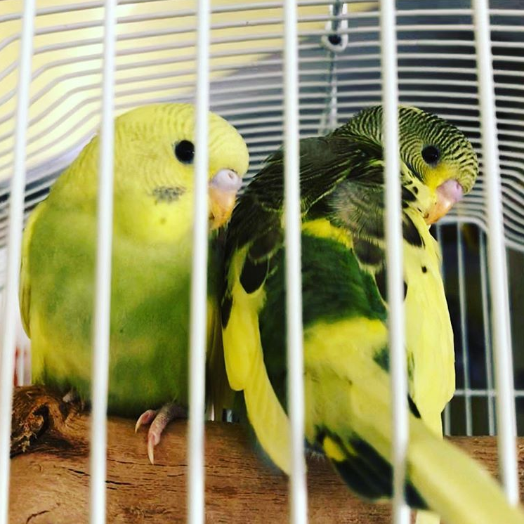 Two parakeets, one yellow and light green, the other yellow and dark green with black stripes, are sitting on a perch in a big cage with white bars.