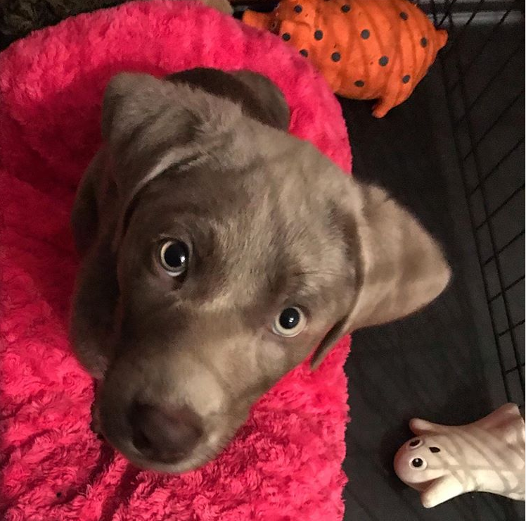 A silver lab puppy looking up at the camera and sitting on a pink bed.