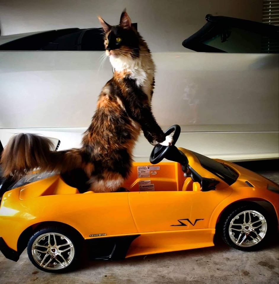 A Calico Maine Coon Cat standing in a miniature orange sports car with her front paws on the steering wheel.