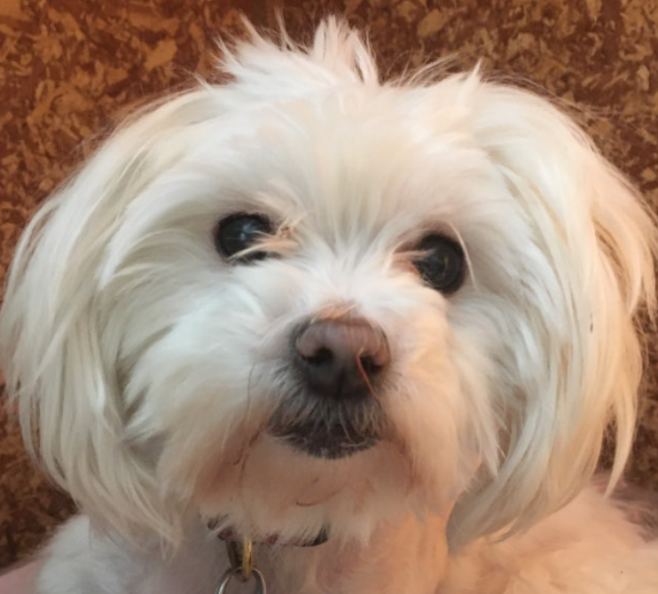 A white maltese dog looking at the camera.