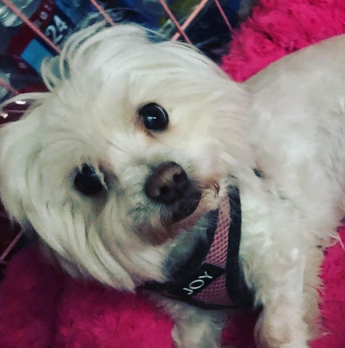 A white maltese dog wearing a pink and black harness, laying on a hot pink plush dog bed.