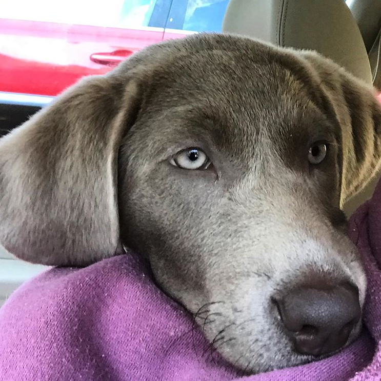 A silver lab puppy with her head placed on her owner's shoulder.