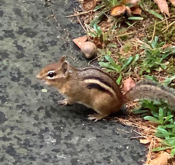 A chipmunk sitting on the edge of a driveway.
