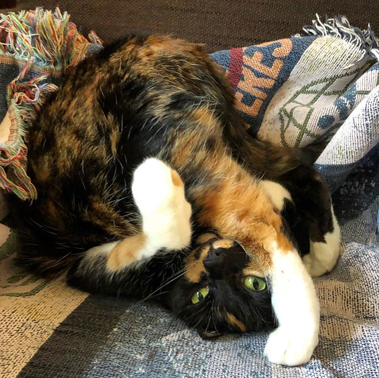 A calico cat sitting with her feet over her head.