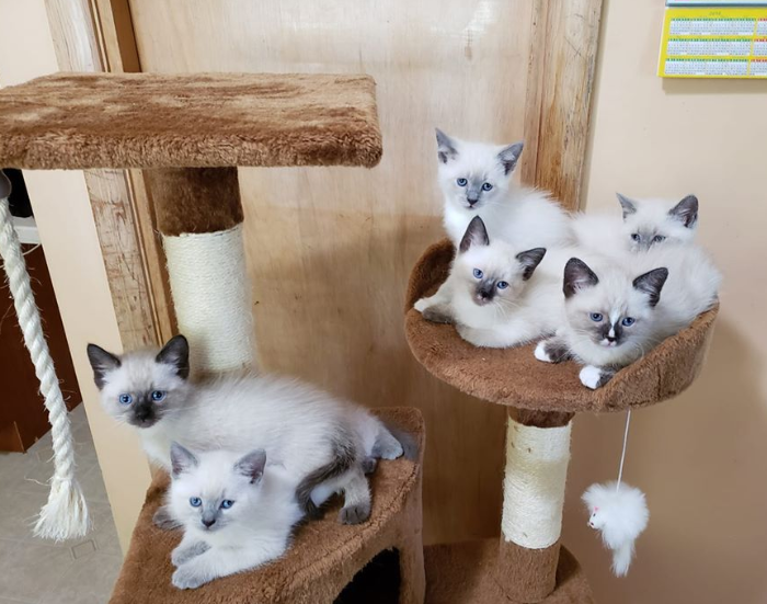 Seven Siamese kittens sitting and laying on a cat tree.