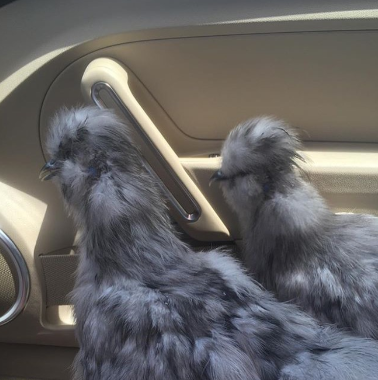 Two gray silkie chicken roosters sitting in the passenger's seat of a car.