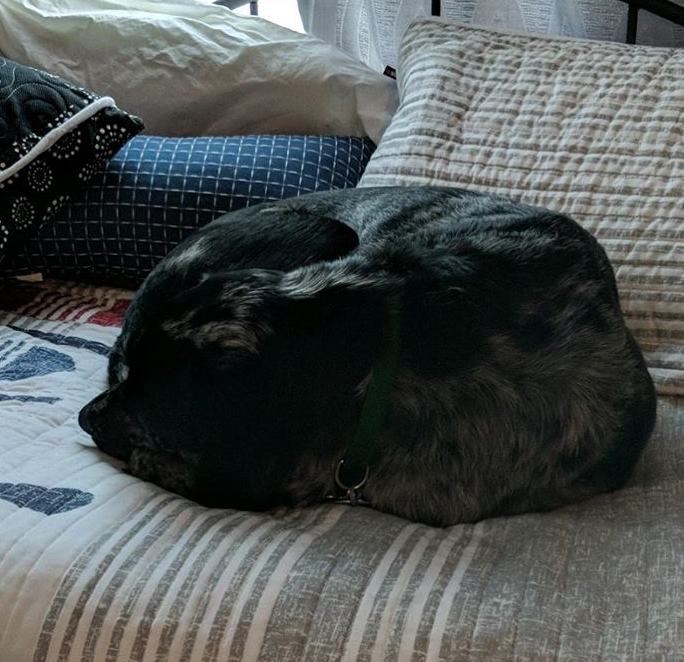 A black brindled dog curled up on a quilt