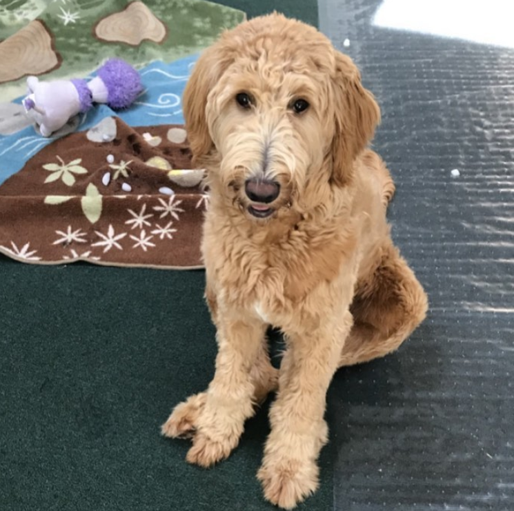 A goldendoodle puppy sitting next to a blanket.