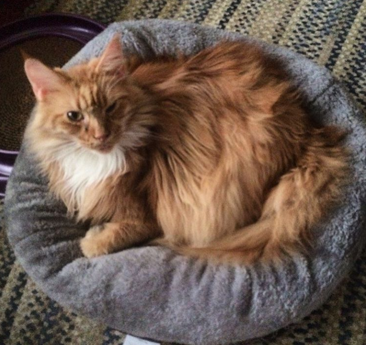 A red and white Main Coon cat sleeping on a pet bed.
