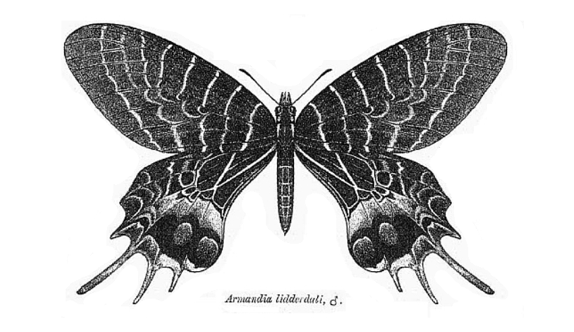 Black and white scientific illustration of a butterfly