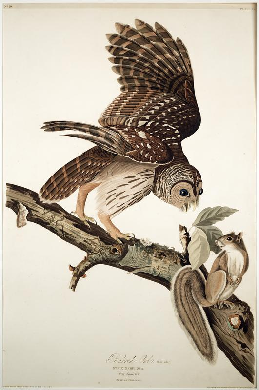 Audubon, Barred Owl