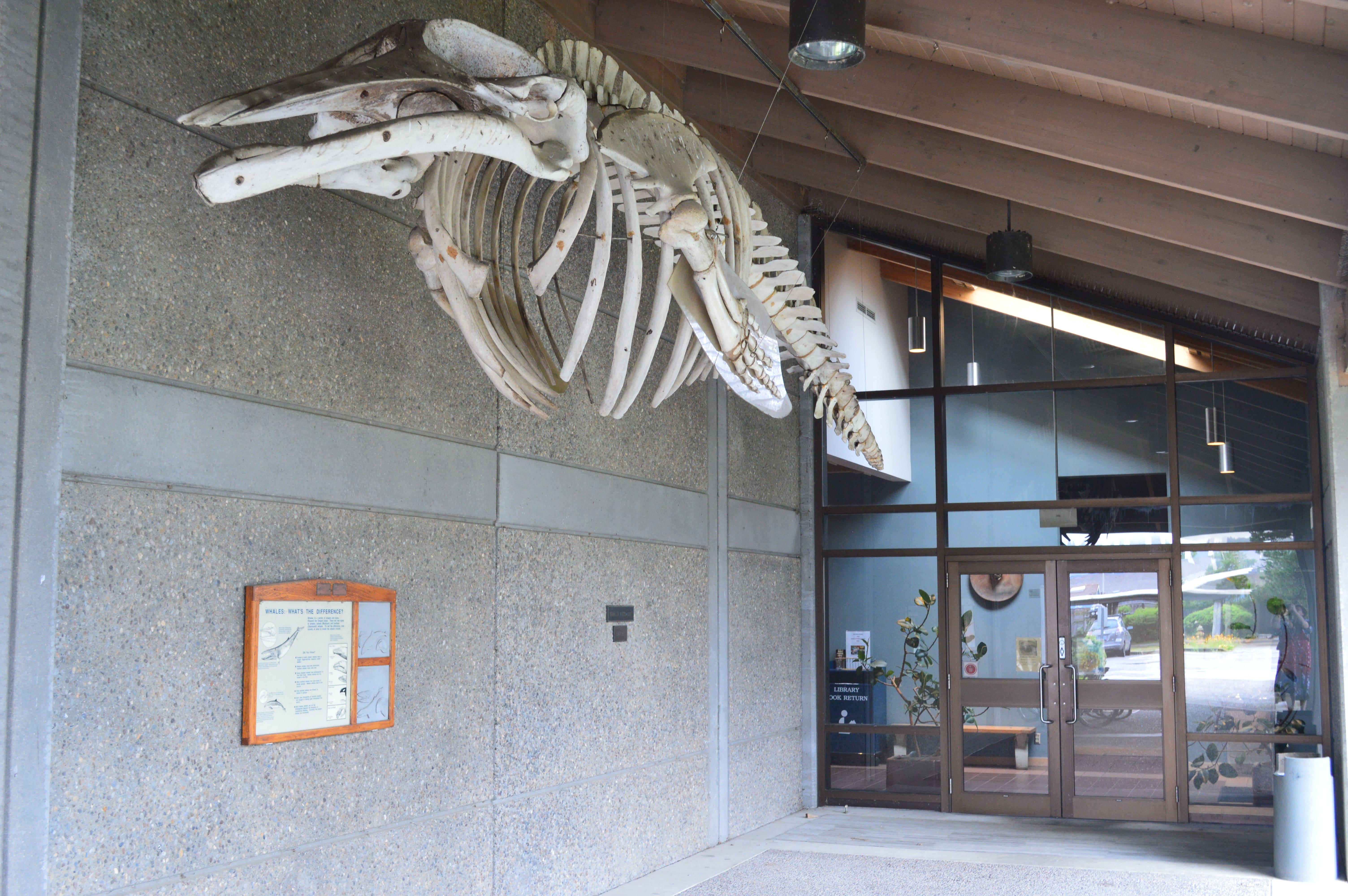 Guin Library Minke Whale Skeleton in Walkway