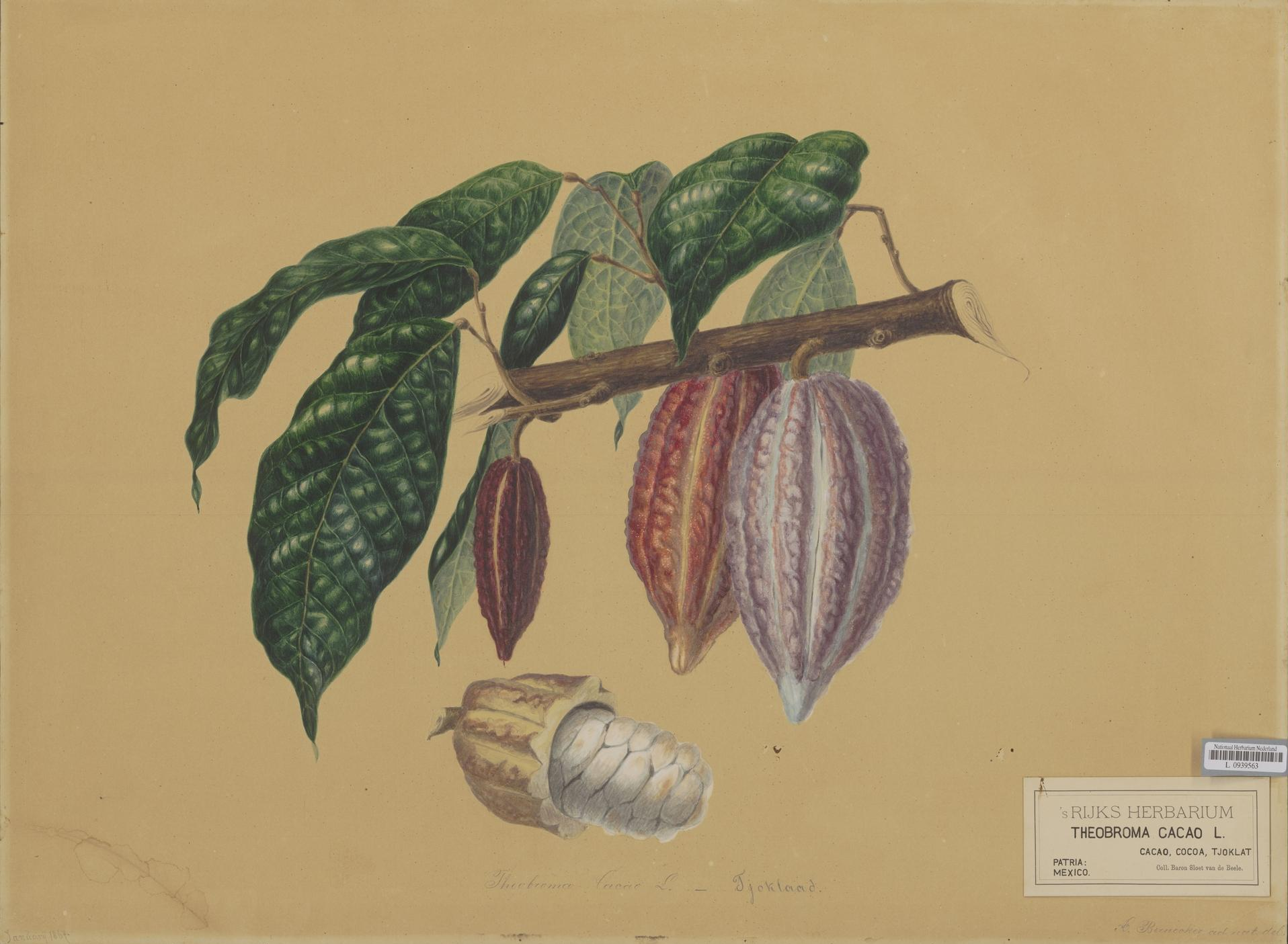 https://upload.wikimedia.org/wikipedia/commons/3/3a/Naturalis_Biodiversity_Center_-_L.0939563_-_Bernecker%2C_A._-_Theobroma_cacao_-_Artwork.jpeg