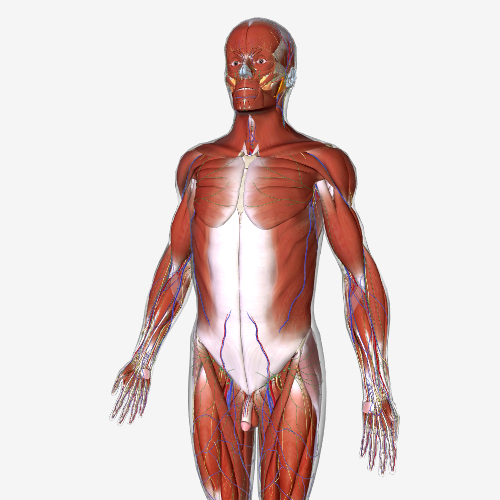 anatomy model - shows muscles