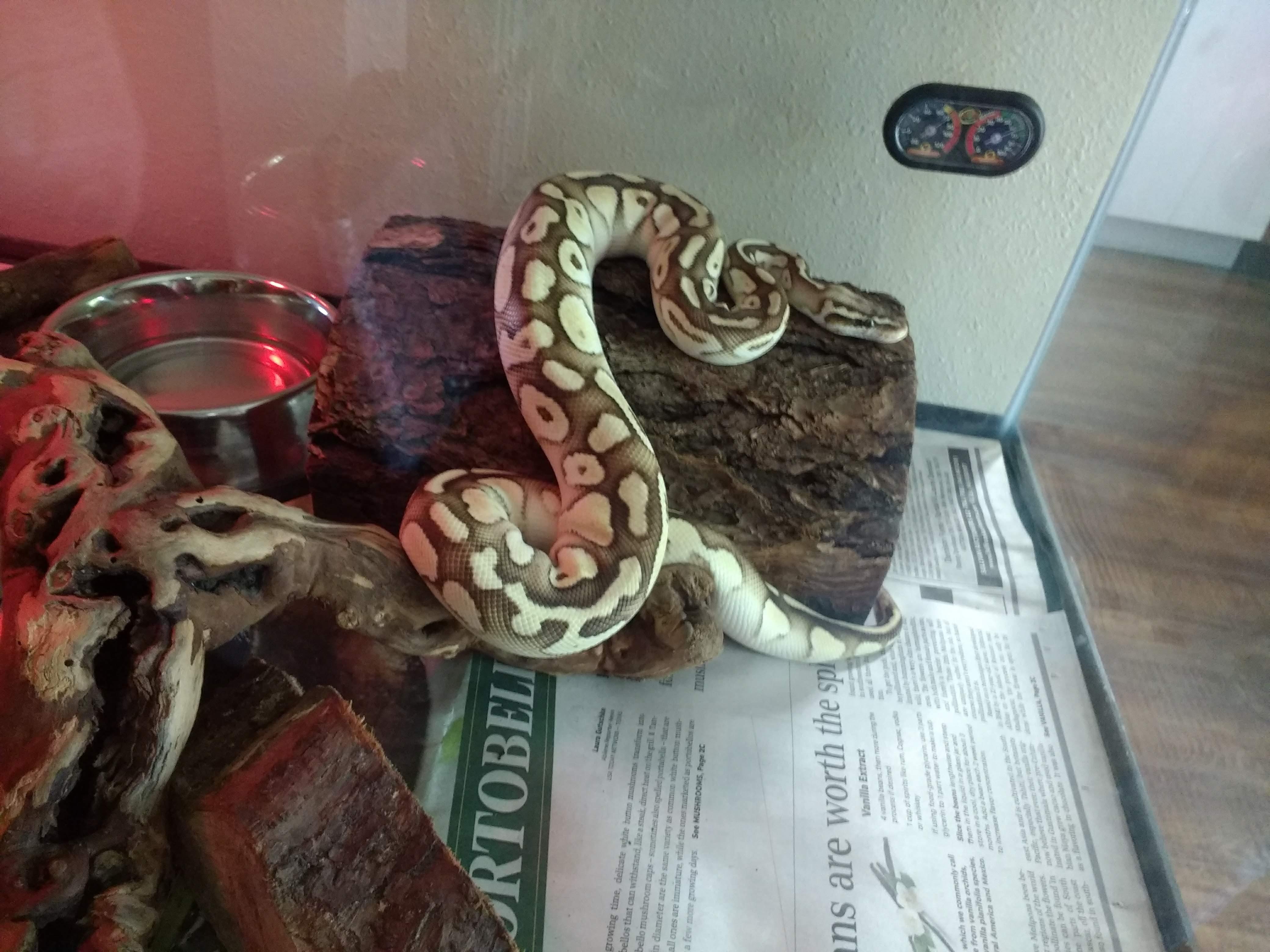 Kate's ball python