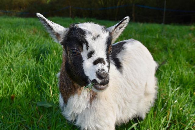 Kid (baby goat)