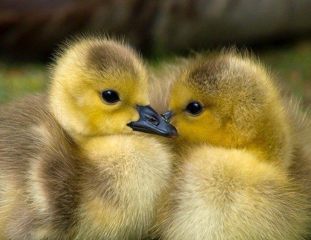Two ducklings huddling