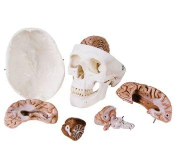 Brain and Skull Model