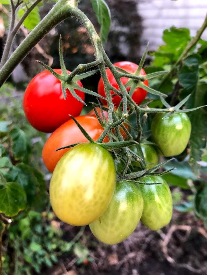 tomatoes grown by Eli GR summer 2020