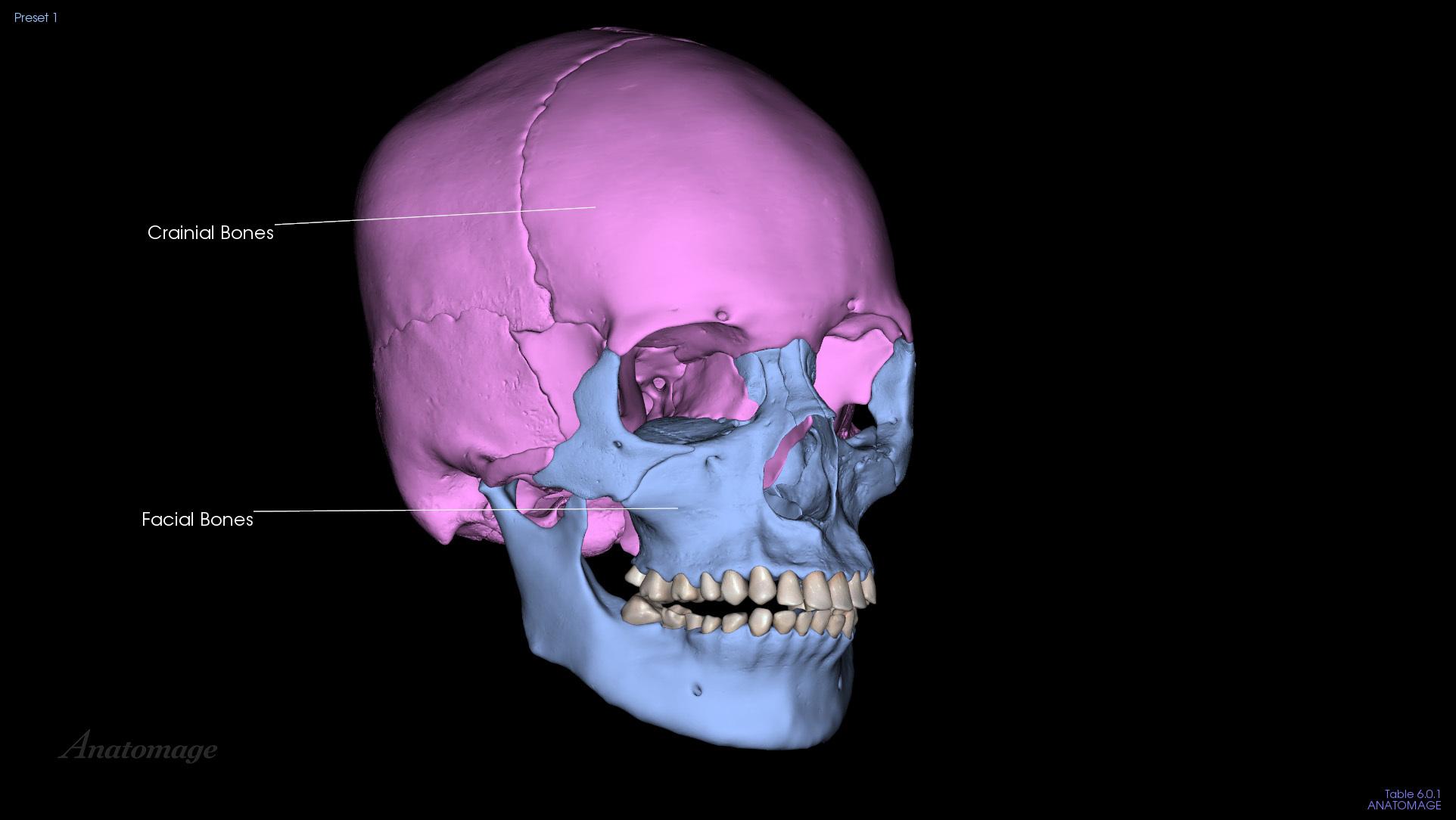 Cranial + Facial Bones