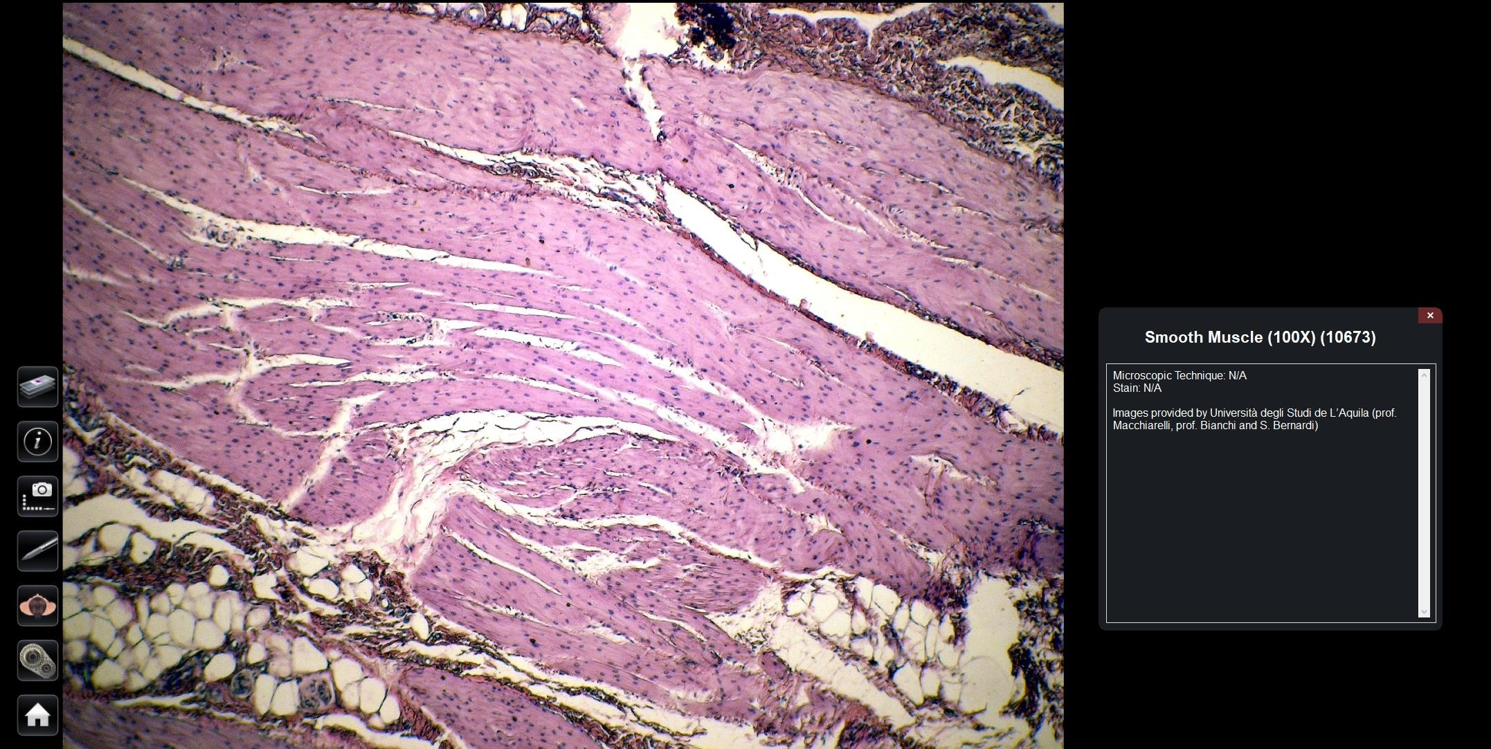 Smooth Muscle Histology