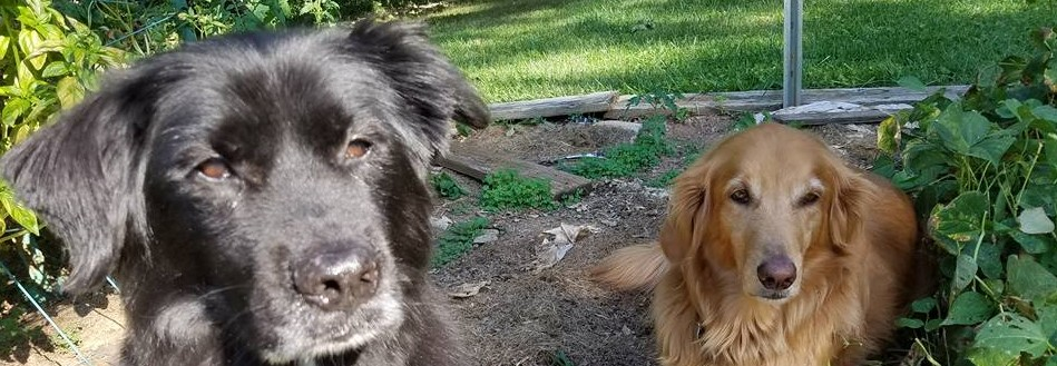 Black dog and golden retriever sitting in a vegetable garden