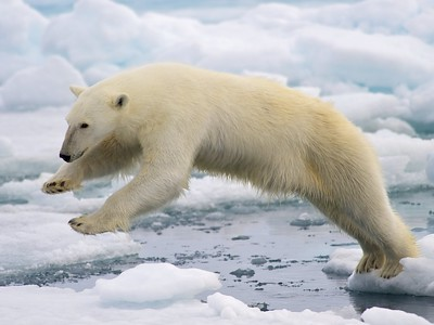 male polar bear jumping in pack ice