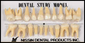 Picture of Deciduous Teeth Model