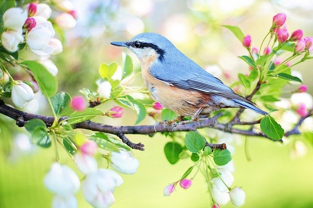 Bluebird sitting on spring tree branch