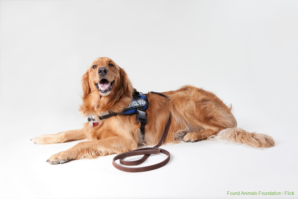 Service Dog with Vest