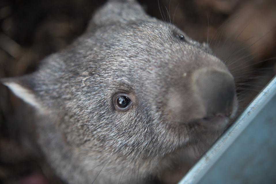 Grey Wombat