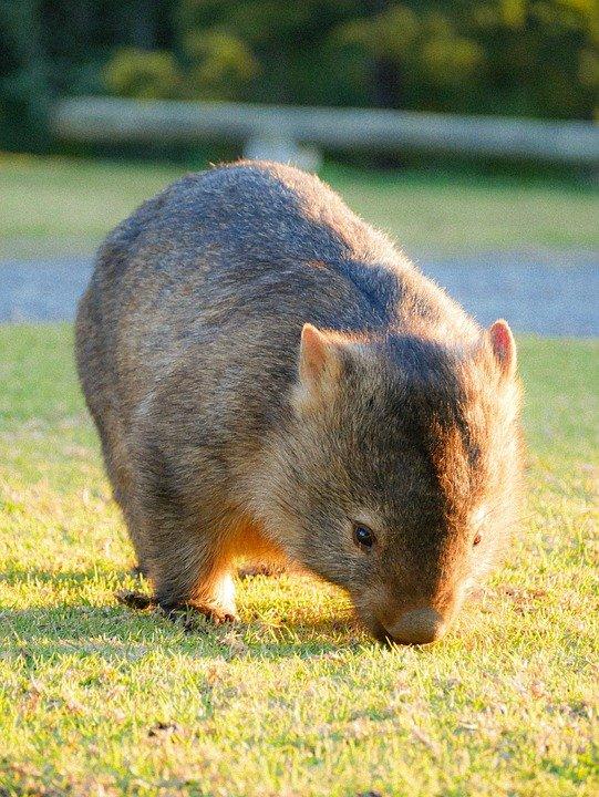 Wombat eating grass