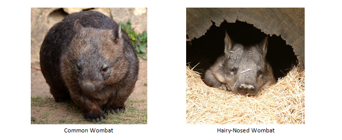 A coomon wombat next to a Hairy-Nosed wombat