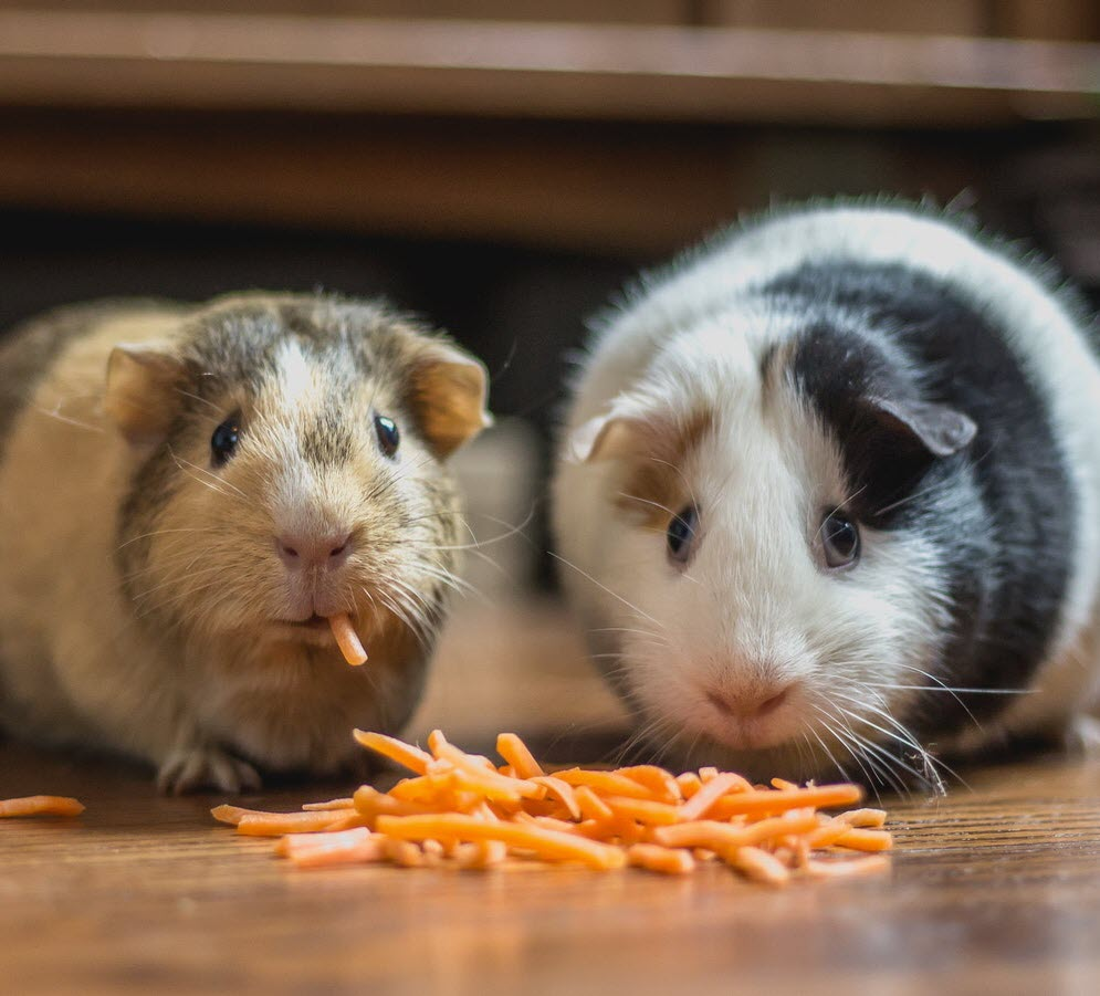 Image of two guinea pigs eating cheese