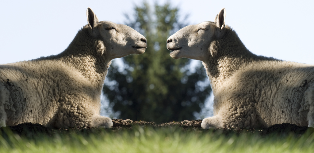 Photo of cloned sheep