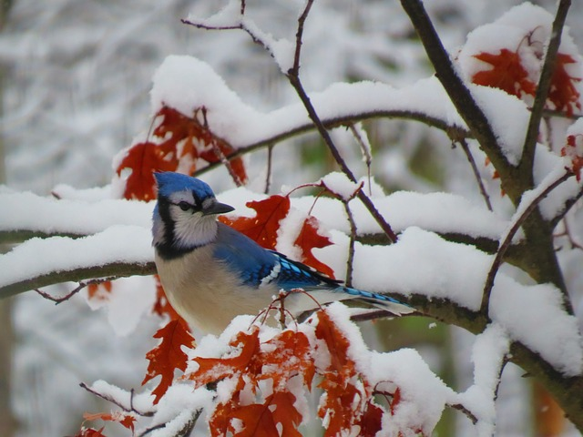 Blue jay on a branch in winter
