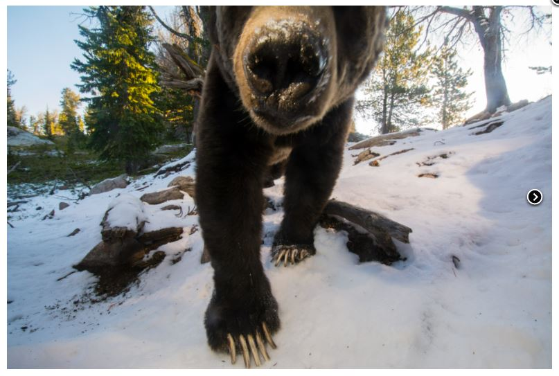 photograph of a grizzly bear