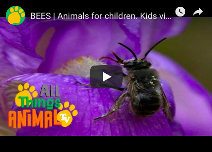 All Things Animal video about bees