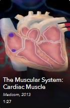 AVON - Muscular System-Cardiac