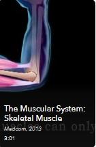 AVON - Muscular System-Skeletal