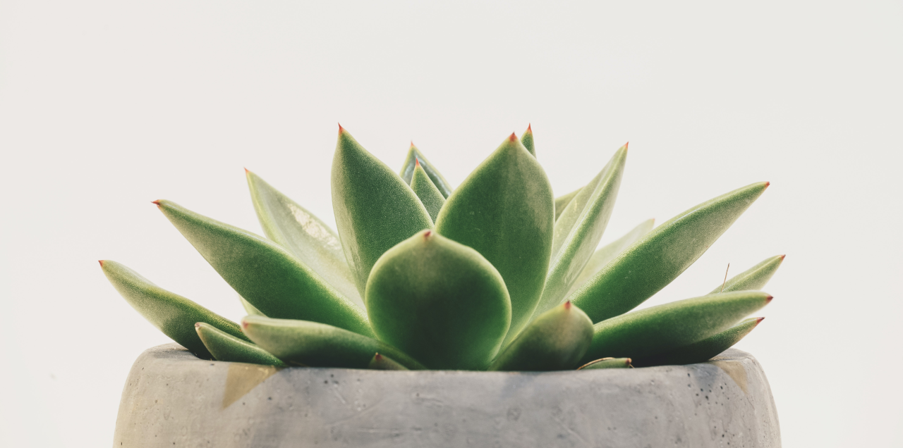 Succulent potted plant with green leaves in a gray bowl