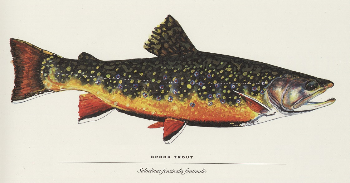 Brook Trout illustration by James Prosek