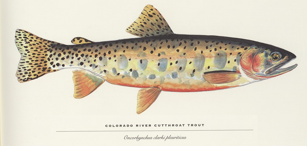 Colorado River Cutthroat Trout illustration by James Prosek