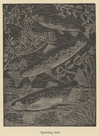 Spawning Trout engraving from Fly Fishing