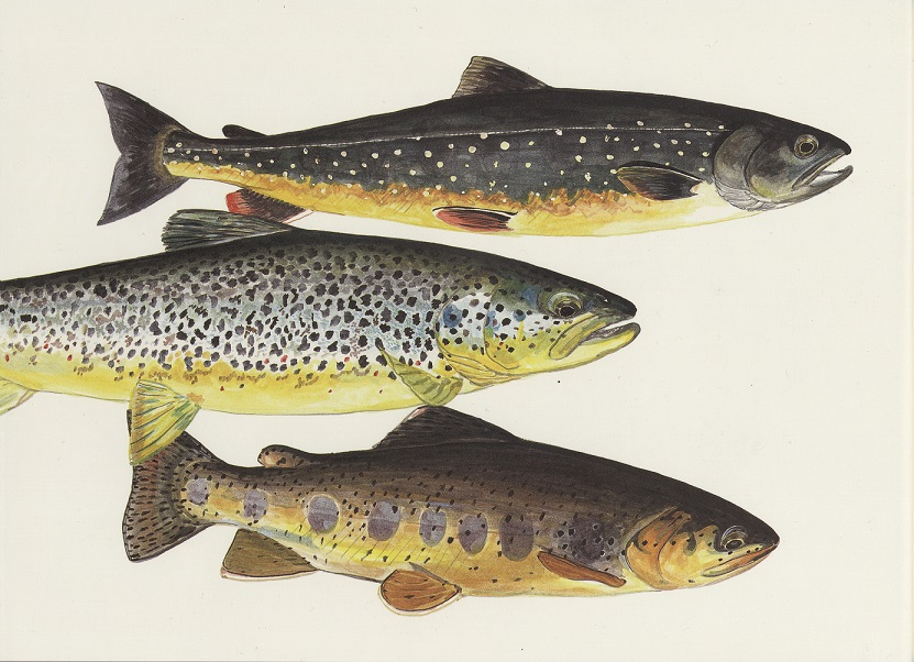 Illustration of three trout from Trout: An Illustrated History