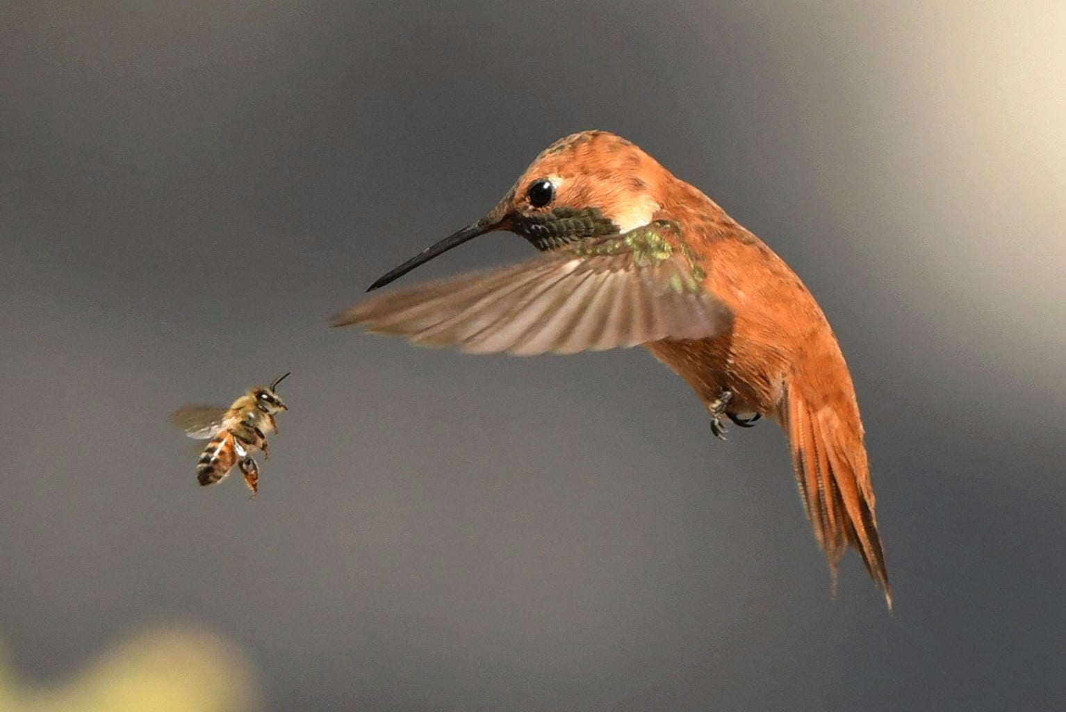 Bee and Hummingbird Face each other mid-flightg