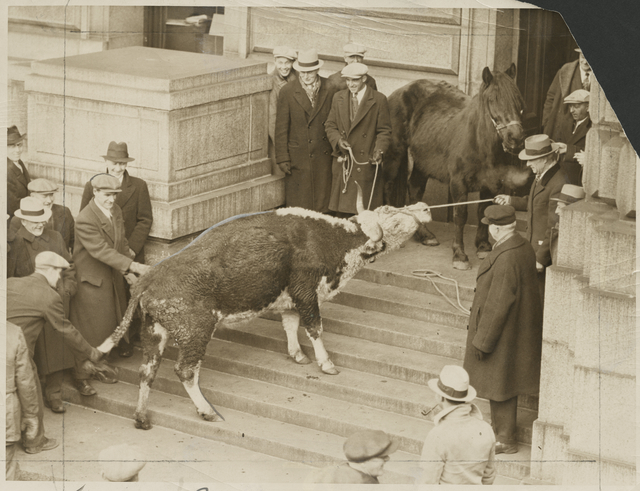 Starving cow and horse were brought by farmers to the State Capitol to dramatize their demands for relief