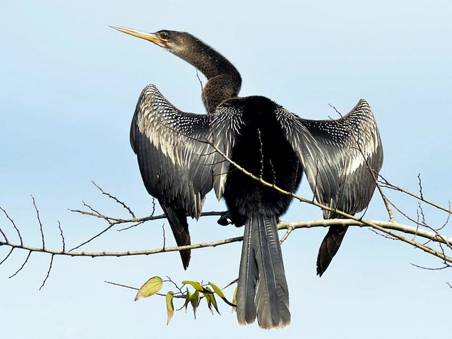 Anhinga from Birds of North America